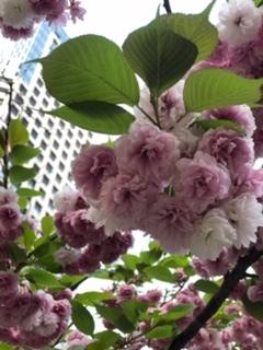 桜を楽しみました(5/16)_c0200361_18364892.jpg