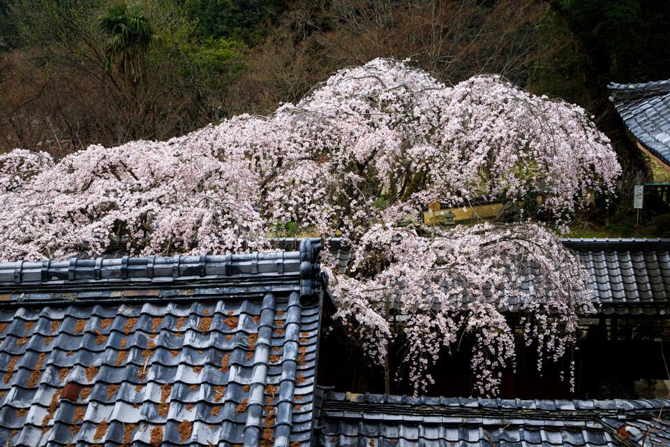 桜 2019!  ~十輪寺~_b0128581_19254532.jpg