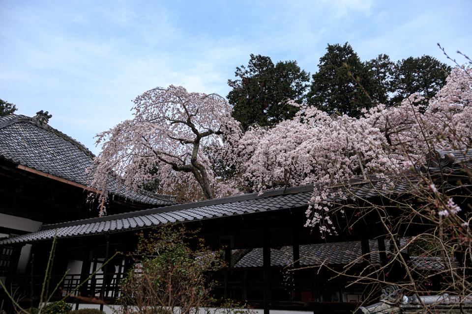 桜 2019!  ~十輪寺~_b0128581_19260472.jpg