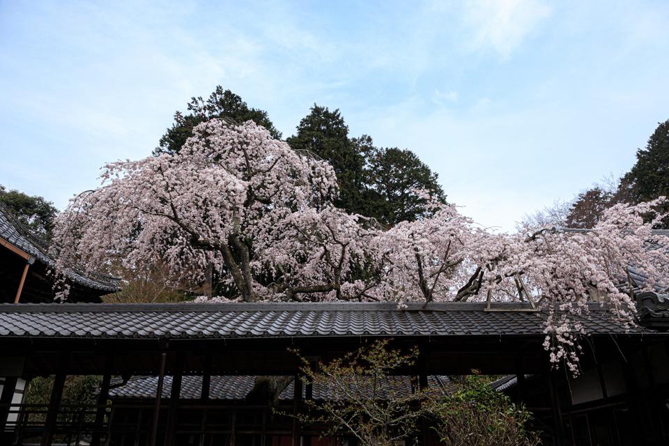 桜 2019!  ~十輪寺~_b0128581_19261212.jpg
