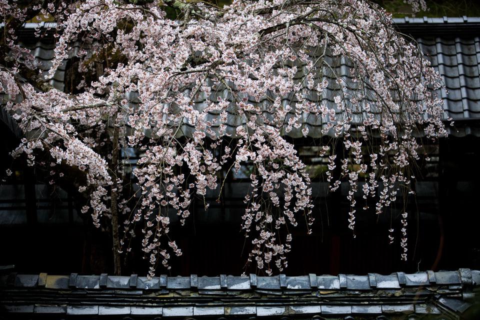 桜 2019!  ~十輪寺~_b0128581_19262328.jpg
