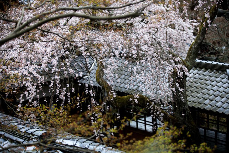 桜 2019!  ~十輪寺~_b0128581_19263612.jpg