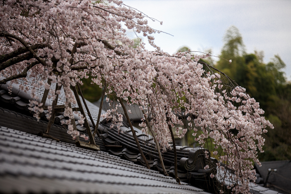 桜 2019!  ~十輪寺~_b0128581_19282541.jpg