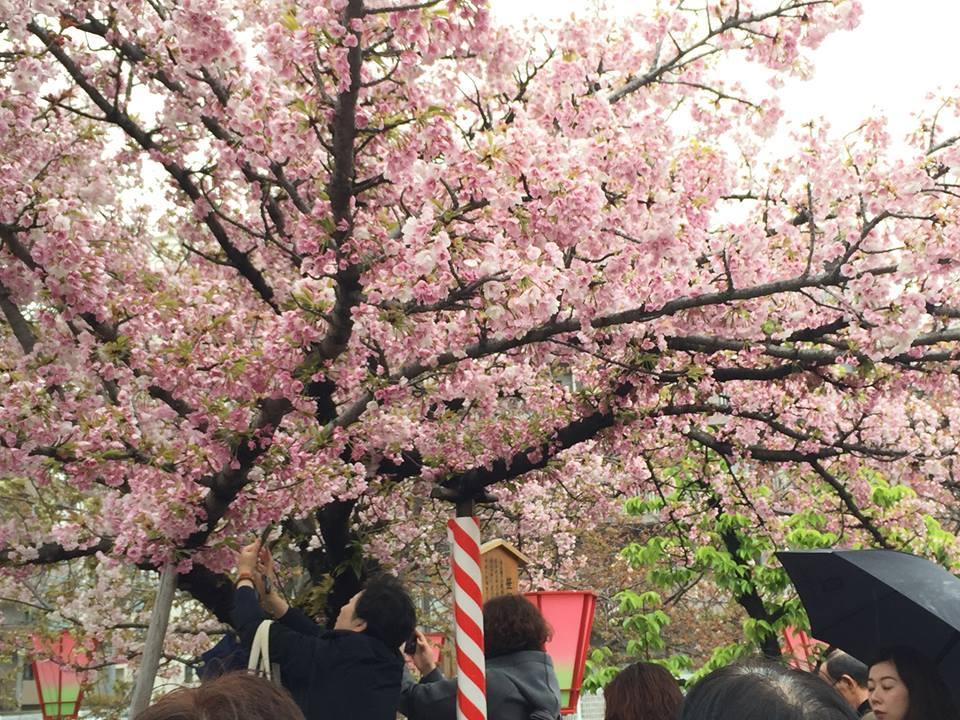 ぼっち花見 造幣局桜の通り抜け〜♪_e0123286_17373619.jpg