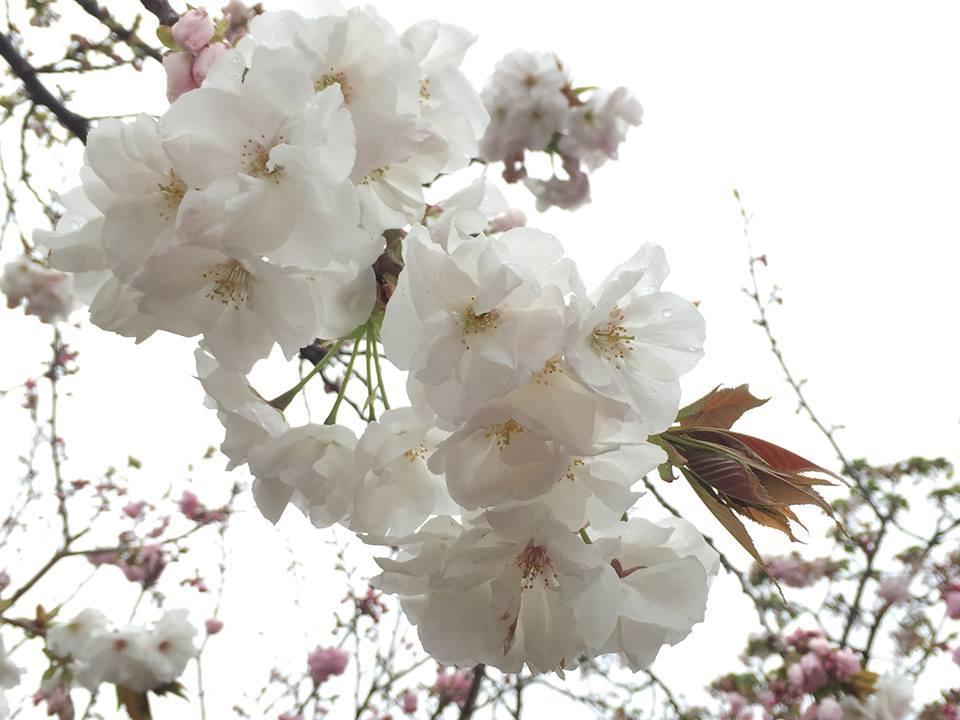 ぼっち花見 造幣局桜の通り抜け〜♪_e0123286_17374857.jpg