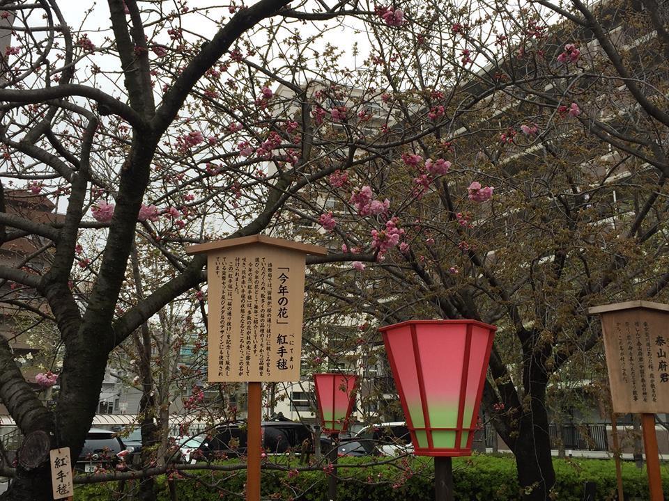 ぼっち花見 造幣局桜の通り抜け〜♪_e0123286_17380231.jpg