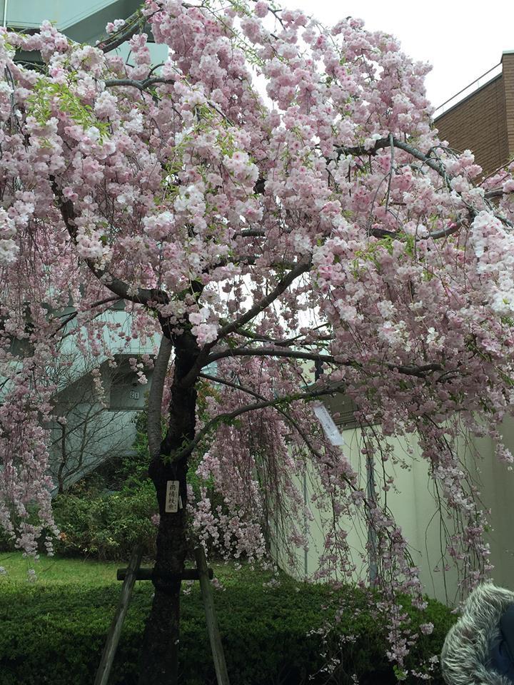ぼっち花見 造幣局桜の通り抜け〜♪_e0123286_17381511.jpg