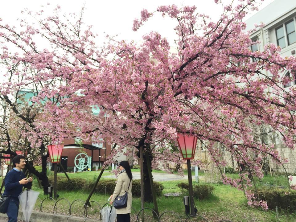 ぼっち花見 造幣局桜の通り抜け〜♪_e0123286_17385814.jpg
