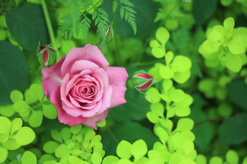 Rose_a0110787_859470.jpg