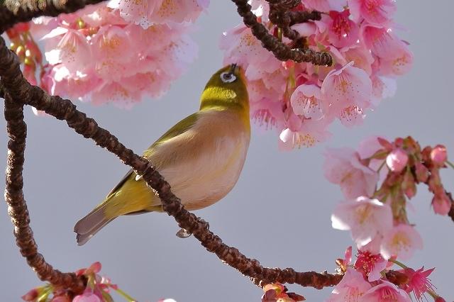 2019年の圧倒的桜を、10枚にまとめてみました_b0291402_07594696.jpg
