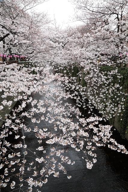 2019年の圧倒的桜を、10枚にまとめてみました_b0291402_08021704.jpg