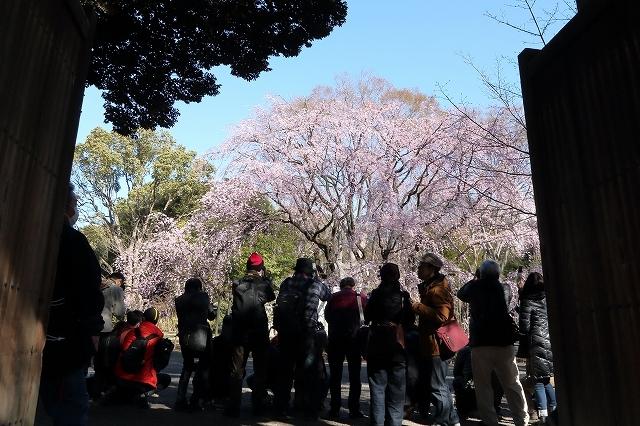 2019年の圧倒的桜を、10枚にまとめてみました_b0291402_08021713.jpg