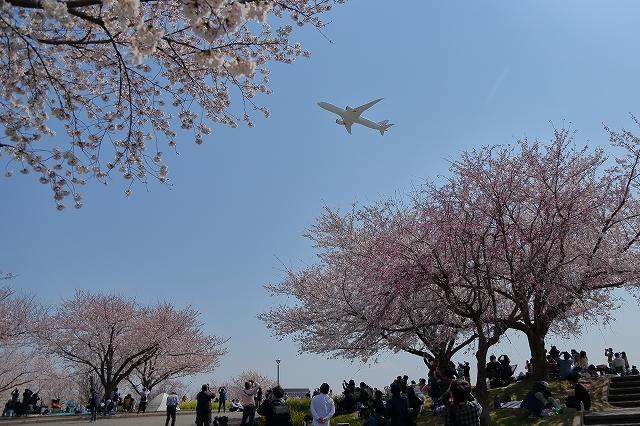 2019年の圧倒的桜を、10枚にまとめてみました_b0291402_08021864.jpg