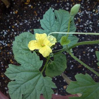 ゴーヤに花が咲きました。_c0195909_10490426.jpg