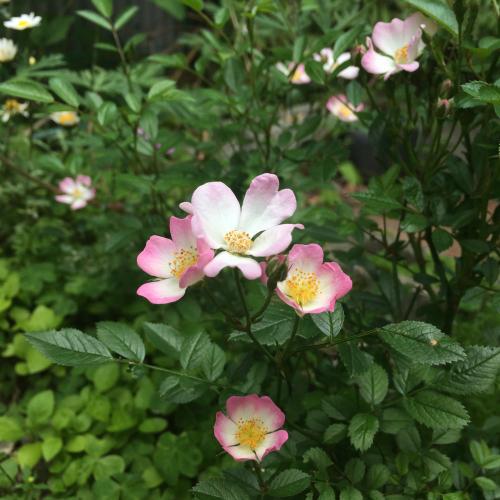 開花 Blooming〜野ばらに寄す_e0103327_15481959.jpg