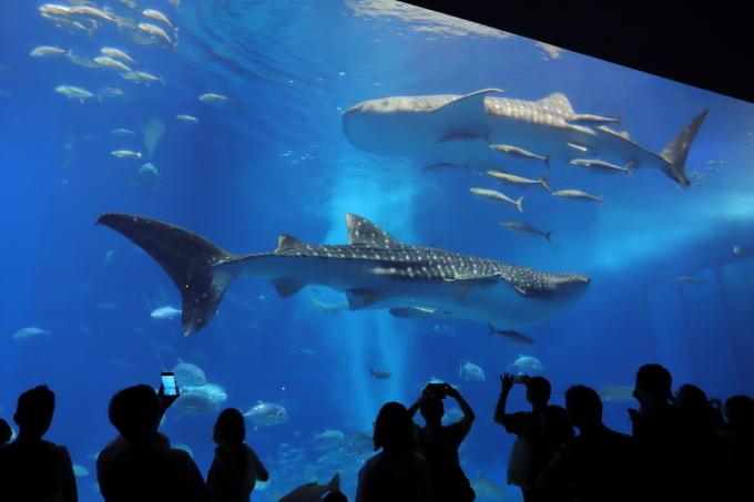 【沖縄美ら海水族館】沖縄旅行 - 6 -_f0348831_07023598.jpg