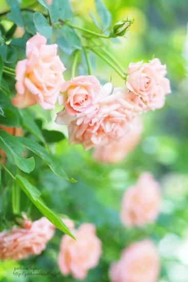 薔薇の香り_e0268051_16594261.jpg