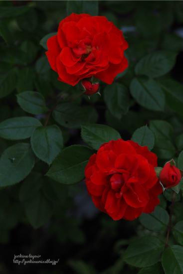 Rose garden_e0268051_17021176.jpg