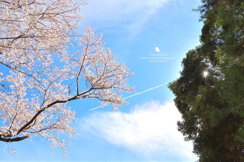 みあげた 空  圧倒的桜。平成FINAL_c0319774_08231233.jpg