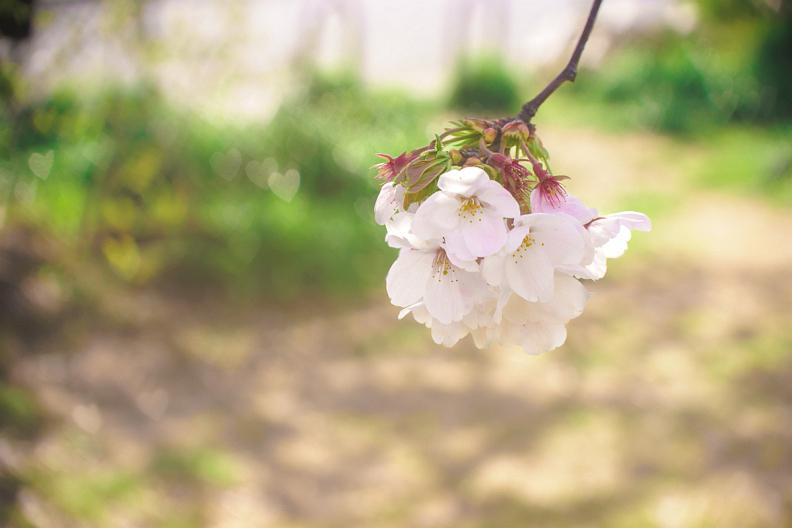 圧倒的桜。平成FINAL_f0189086_19394956.jpg