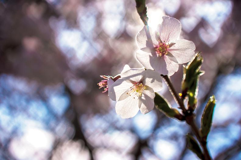 圧倒的桜。平成FINAL_f0189086_19395865.jpg