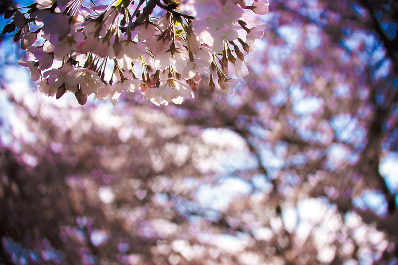 圧倒的桜。平成FINAL_f0189086_19400791.jpg