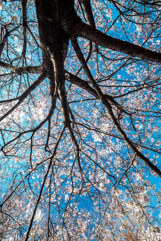 圧倒的桜。平成FINAL_f0189086_19424704.jpg