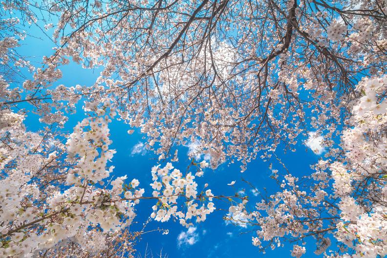圧倒的桜。平成FINAL_f0189086_19430859.jpg