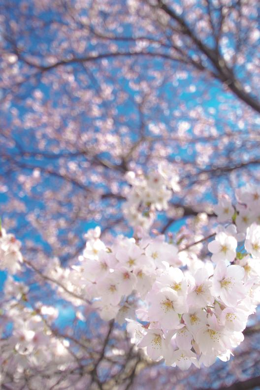 圧倒的桜。平成FINAL_f0189086_19444298.jpg