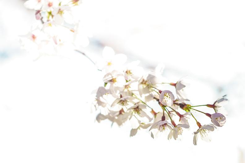 圧倒的桜。平成FINAL_f0189086_19453927.jpg