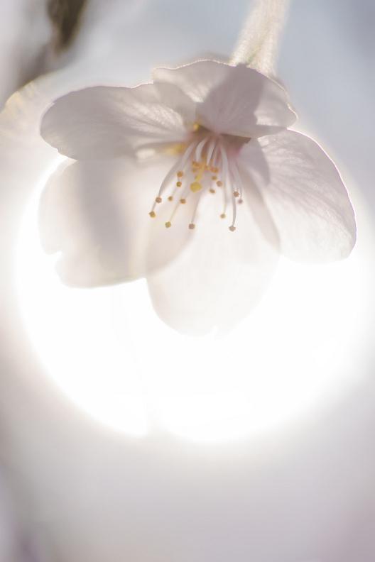 圧倒的桜。平成FINAL_f0189086_19455439.jpg