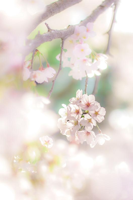 圧倒的桜。平成FINAL_f0189086_19481799.jpg