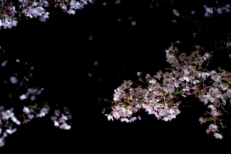 圧倒的桜。平成FINAL_f0189086_19490669.jpg
