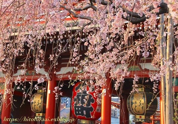 圧倒的桜。平成FINAL 古都の桜と富士の桜_f0374092_19495217.jpg