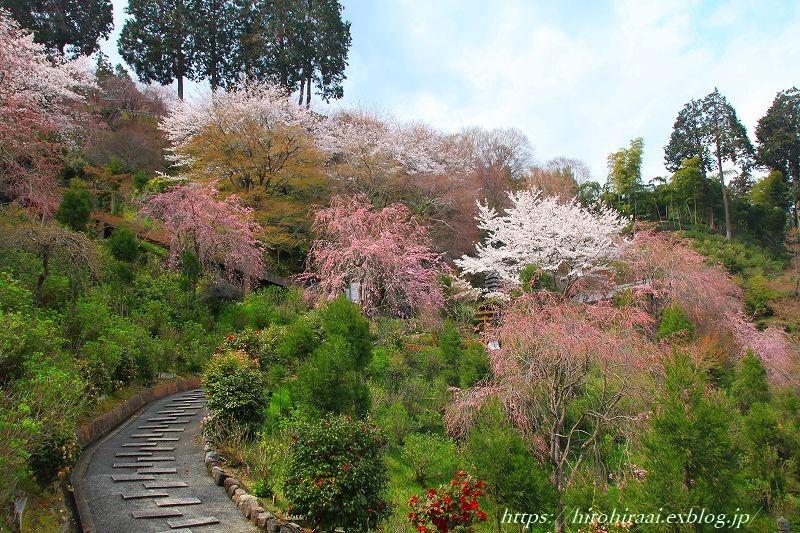 圧倒的桜。平成FINAL 古都の桜と富士の桜_f0374092_20271248.jpg