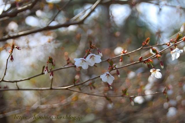圧倒的桜。平成FINAL 古都の桜と富士の桜_f0374092_20322730.jpg