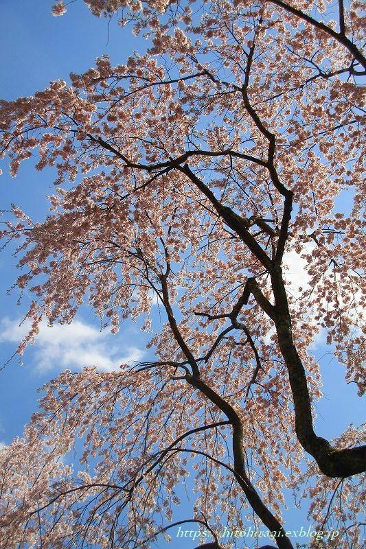 圧倒的桜。平成FINAL 古都の桜と富士の桜_f0374092_20453666.jpg