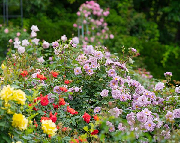 日比谷花壇大船フラワーセンターのバラ園満開でした_b0145398_23023721.jpg