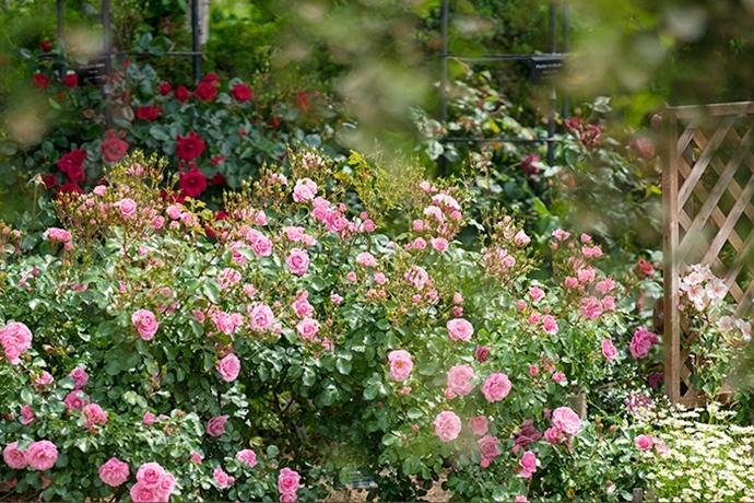 日比谷花壇大船フラワーセンターのバラ園満開でした_b0145398_23033502.jpg