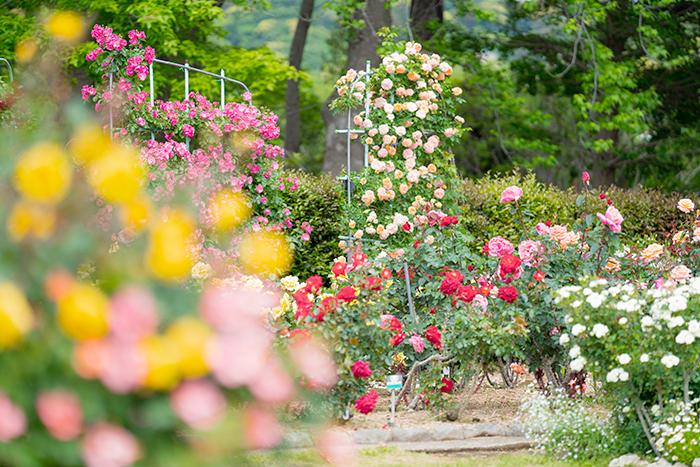 日比谷花壇大船フラワーセンターのバラ園満開でした_b0145398_23050661.jpg