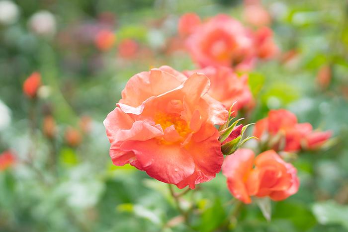 日比谷花壇大船フラワーセンターのバラ園満開でした_b0145398_23083181.jpg