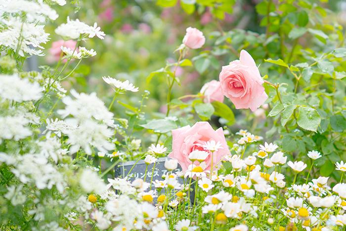 日比谷花壇大船フラワーセンターのバラ園満開でした_b0145398_23084871.jpg