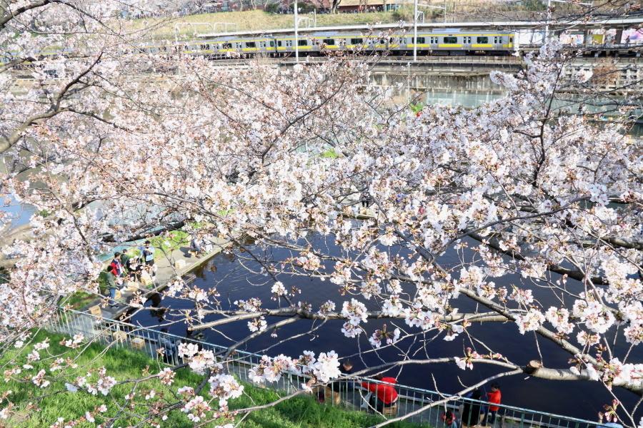 圧倒的桜。平成FINAL_b0190710_00342814.jpg