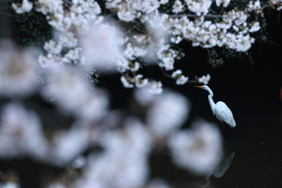 圧倒的桜。平成FINAL_b0190710_00342828.jpg