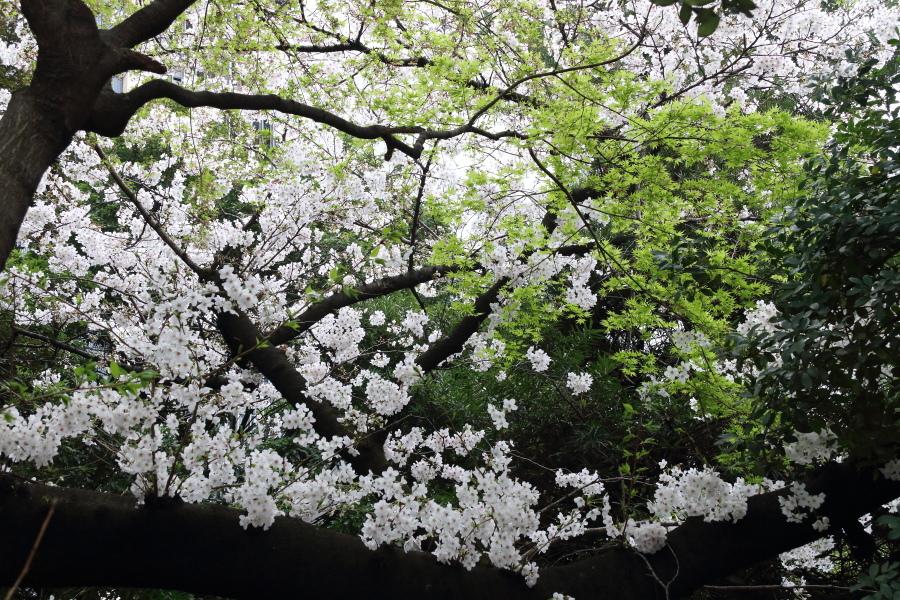 圧倒的桜。平成FINAL_b0190710_00342860.jpg
