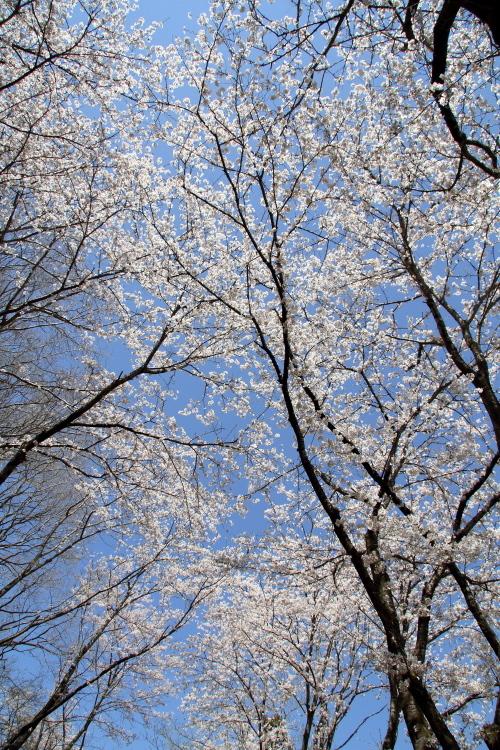 圧倒的桜。平成FINAL(2) 桜咲く駅を通過する汽車_b0190710_18370638.jpg