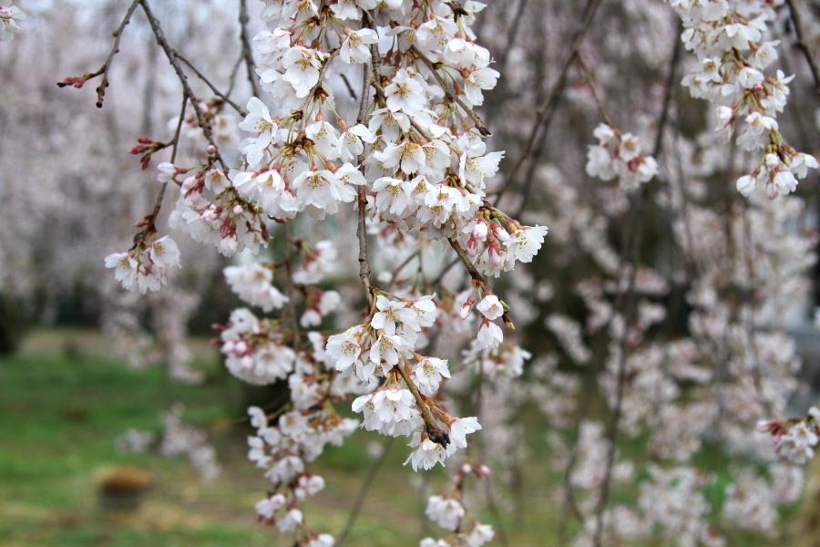 圧倒的桜。平成FINAL(2) 桜咲く駅を通過する汽車_b0190710_18370686.jpg