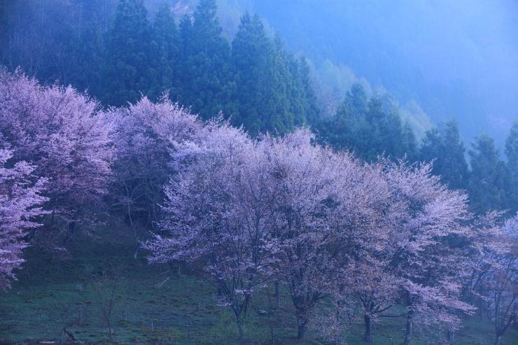 桜・響く 2019~中綱湖オオヤマザクラ~_d0349418_17361925.jpg