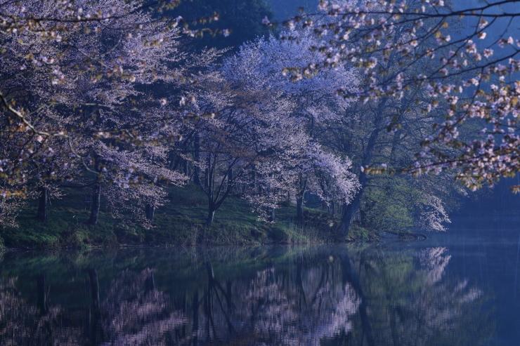 桜・響く 2019~中綱湖オオヤマザクラ~_d0349418_17382935.jpg