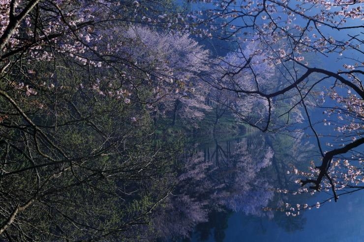 桜・響く 2019~中綱湖オオヤマザクラ~_d0349418_17383803.jpg